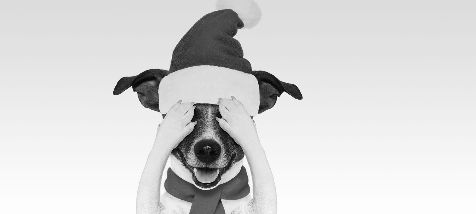 Black and white photo of Jack Russell terrier with Santa hat covering eyes.
